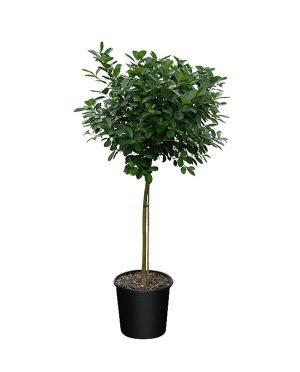 Ficus benjamina 'Danielle', Ficus Daniella, Ficus Moclame